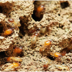 Termite Control: Non-Toxic Insect Control Solutions That Work